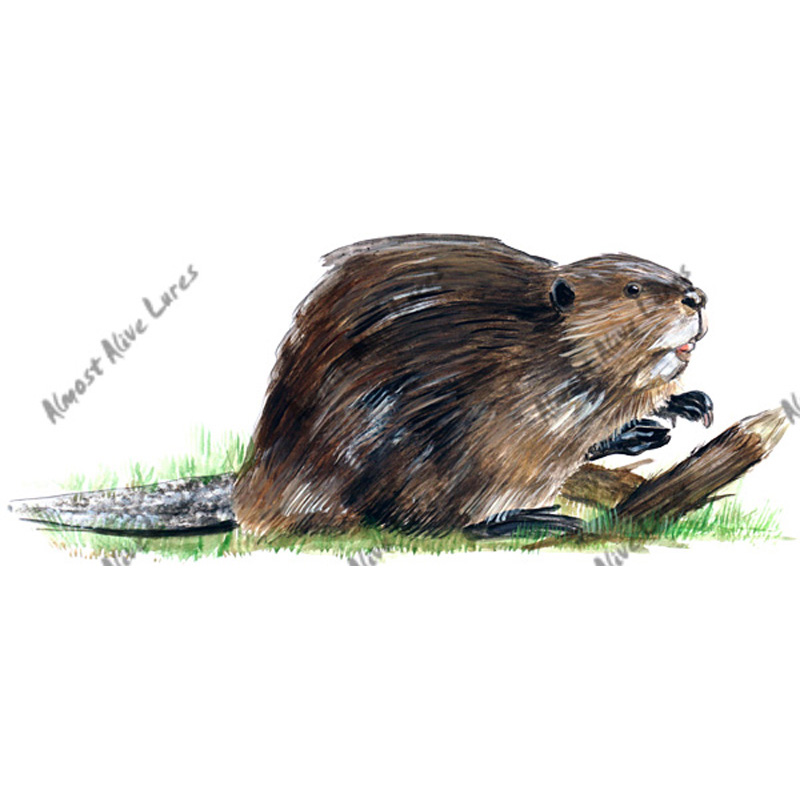 Beaver - Printed Vinyl Decal