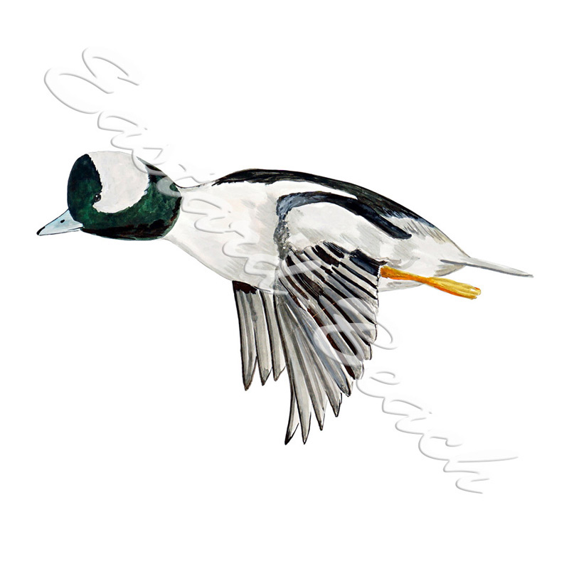 Bufflehead Duck - 3.494 x 5.840 Inches
