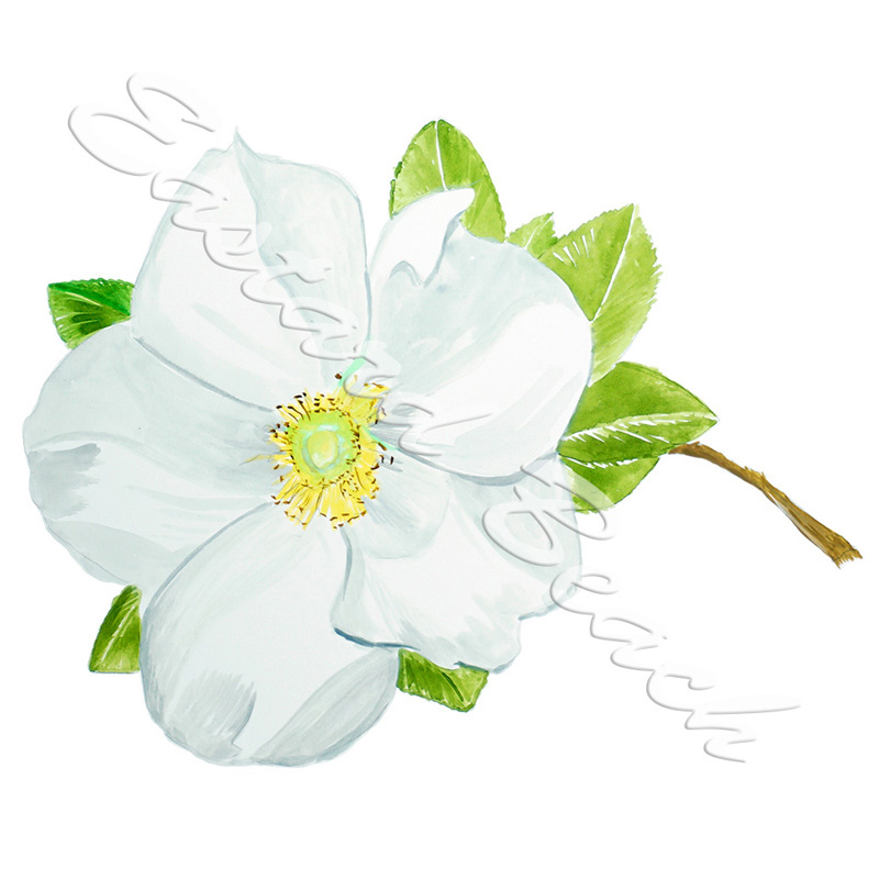 Cherokee Rose Flower
