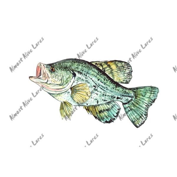 Crappie Sunfish - Printed Vinyl Decal