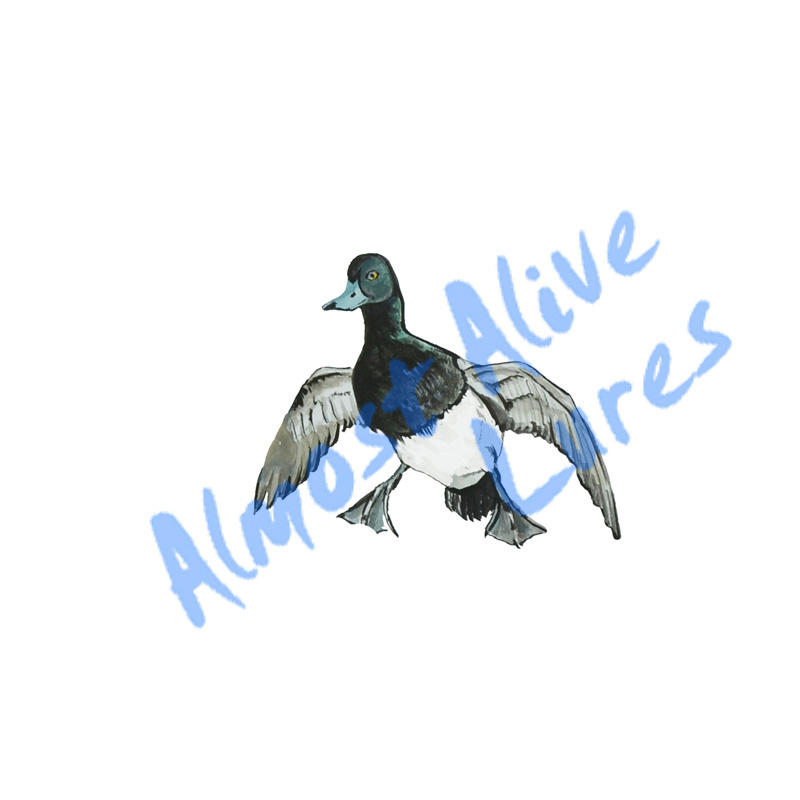 Blue Beak Duck - Printed Vinyl Decal