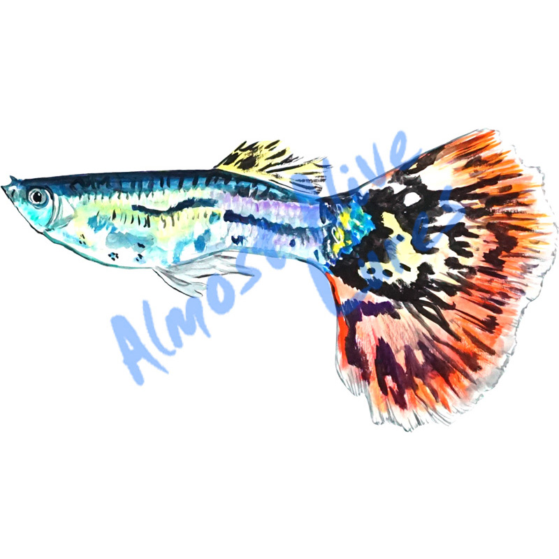 Fancy Guppie - Printed Vinyl Decal