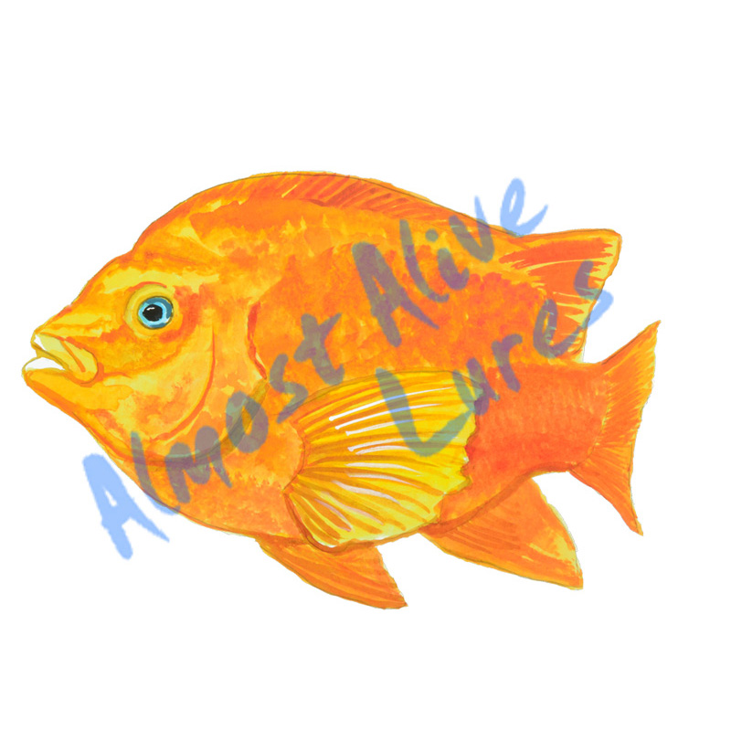 Garibaldi Fish - Printed Vinyl Decal