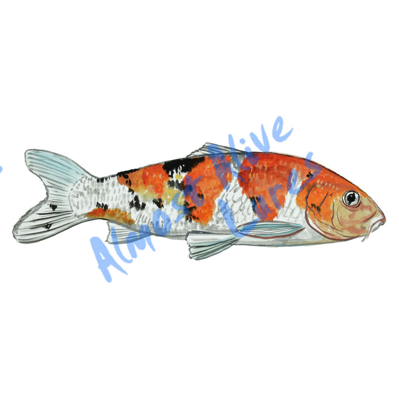 Koi Fish - Printed Vinyl Decal