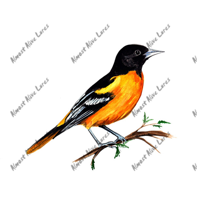 Oriole - Printed Vinyl Decal