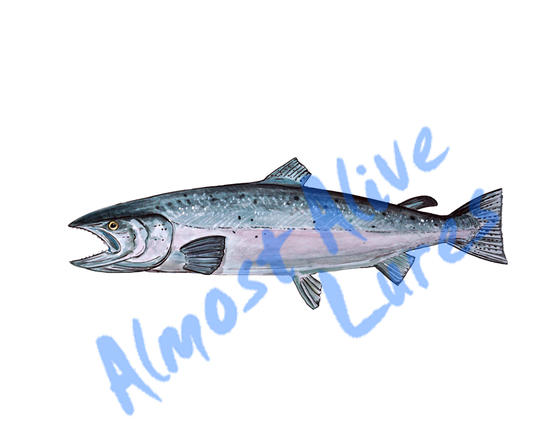 Salmon - Printed Vinyl Decal