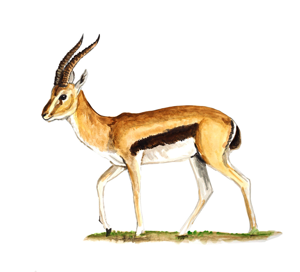 Gazelle - Printed Vinyl Decal