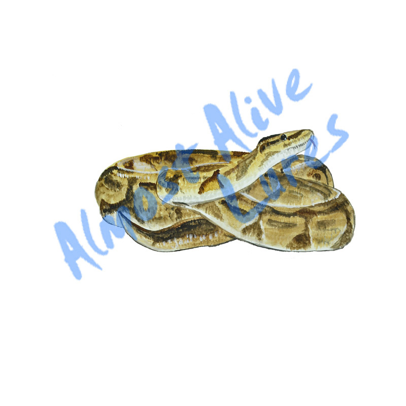 Boa Constrictor - Printed Vinyl Decal