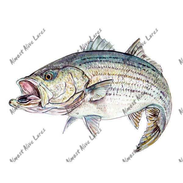 Striped Bass - Printed Vinyl Decal