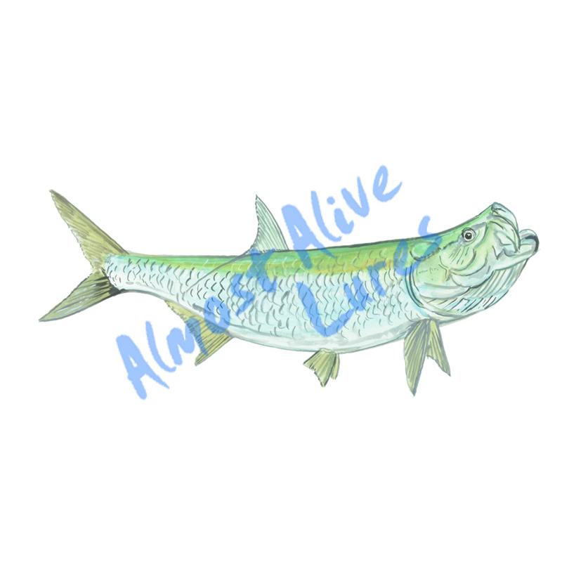 Tarpon - Printed Vinyl Decal