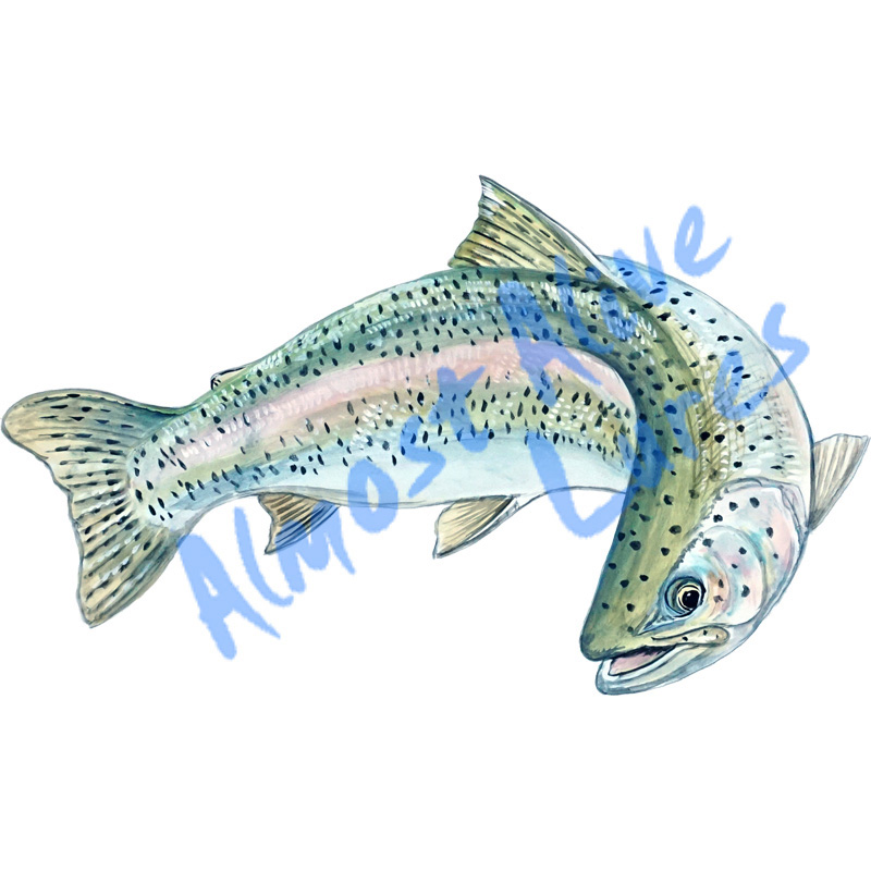 Rainbow Trout - Printed Vinyl Decal